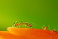 El luchar de las hormigas Foto de archivo