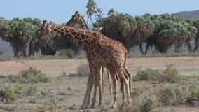 El luchar de las jirafas almacen de metraje de vídeo