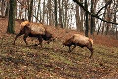 El luchar de los alces de Bull Imagen de archivo libre de regalías