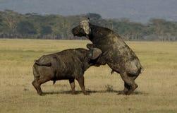 El luchar de los búfalos Foto de archivo libre de regalías