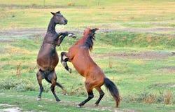 El luchar de los caballos Imágenes de archivo libres de regalías