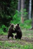 El luchar de los cachorros de oso Foto de archivo