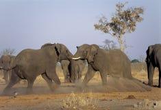 El luchar de los elefantes Imágenes de archivo libres de regalías
