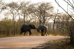 el luchar de los elefantes Imagenes de archivo