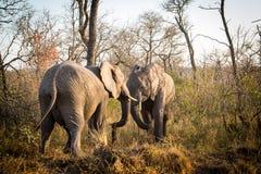el luchar de los elefantes Fotos de archivo libres de regalías