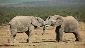 El luchar de los elefantes africanos
