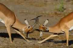El luchar de los espolones del impala Fotografía de archivo