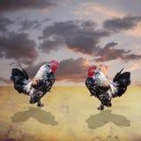 El luchar de los gallos Fotos de archivo libres de regalías