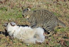 El luchar de los gatos Fotografía de archivo libre de regalías