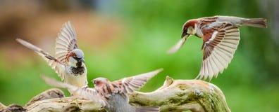 El luchar de los gorriones Fotografía de archivo