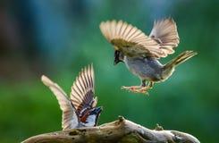 El luchar de los gorriones Foto de archivo