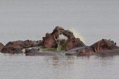 El luchar de los hipopótamos Imagen de archivo libre de regalías