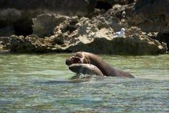El luchar de los leones de mar Imágenes de archivo libres de regalías