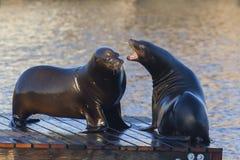 El luchar de los leones marinos Fotos de archivo