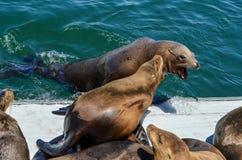El luchar de los leones marinos Imagenes de archivo