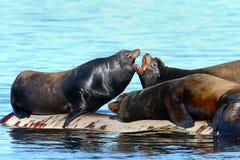 El luchar de los leones marinos de California Imagen de archivo libre de regalías
