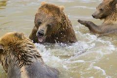 El luchar de los osos Imágenes de archivo libres de regalías