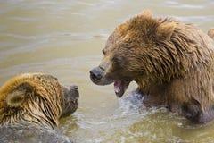 El luchar de los osos Fotos de archivo