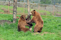 El luchar de los osos Imagenes de archivo