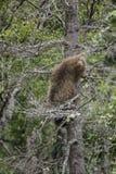 El luchar de los osos de Katmai Brown; Caídas de los arroyos; Alaska; EE.UU. Fotografía de archivo libre de regalías