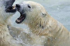 El luchar de los osos polares Foto de archivo libre de regalías