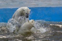 El luchar de los osos polares Fotografía de archivo