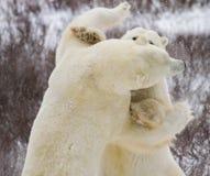 El luchar de los osos polares imagen de archivo libre de regalías