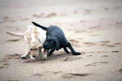 El luchar de los perritos del perro perdiguero de Labrador Fotografía de archivo