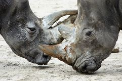 El luchar de los Rhinos Imagen de archivo libre de regalías