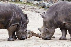 El luchar de los Rhinos Foto de archivo