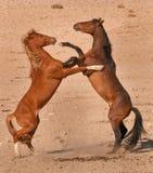 El luchar de los sementales del caballo salvaje Imagen de archivo libre de regalías