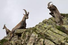 El luchar de los varones del cabra montés imagenes de archivo