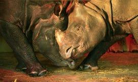 El luchar indio de los Rhinos Fotografía de archivo