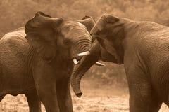 El luchar/tronco de los elefantes africanos que lucha Fotos de archivo libres de regalías