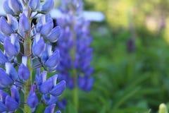 El lupine azul florece el papel pintado de la mesa del primer foto de archivo