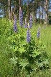 El Lupine florece (el polyphyllus del Lupinus) Fotos de archivo
