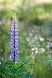 El Lupine florece (el polyphyllus del Lupinus) Fotos de archivo libres de regalías