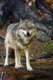 El lupus de Canis del lobo gris que se coloca en el bosque Foto de archivo