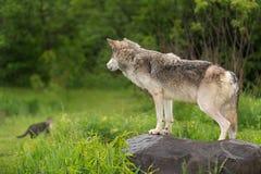 El lupus de Grey Wolf Canis mira el gato en distancia Fotos de archivo