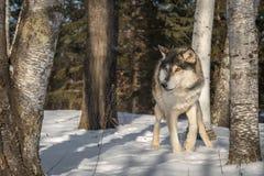 El lupus de Grey Wolf Canis mira a la izquierda de árboles de abedul Fotografía de archivo