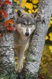 El lupus de Grey Wolf Canis observa el abatimiento entre el otoño de los árboles de abedul imagen de archivo