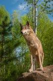 El lupus de Grey Wolf Canis se coloca encima de roca Fotos de archivo