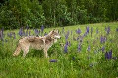 El lupus juvenil y el perrito de Grey Wolf Canis se colocan en el campo del altramuz Imagen de archivo