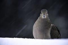 El luto se zambulló en invierno Fotografía de archivo libre de regalías