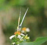 El lyncida Eleonora, mariposa de Appias está chupando el néctar Imágenes de archivo libres de regalías