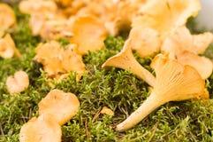 El mízcalo de oro (cibarius del Cantharellus) o el girolle prolifera rápidamente Imagen de archivo