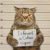 El mún gato masticó un cigarro cubano fotos de archivo libres de regalías