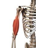 El músculo del brazo superior Imagenes de archivo