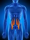 El músculo psoas mayor ilustración del vector