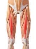 El músculo recto femoral stock de ilustración